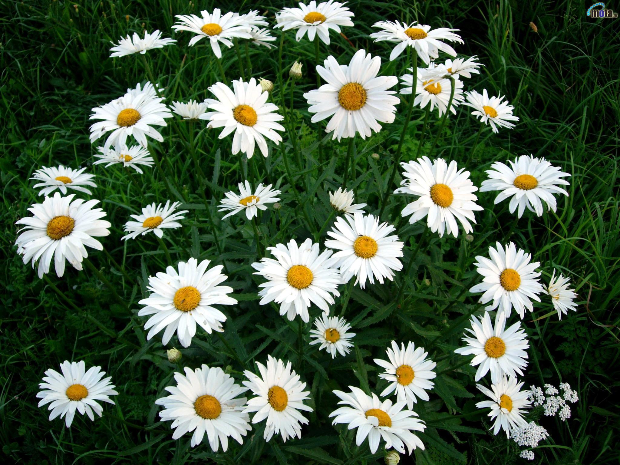 Фото цветов рамашка